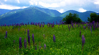 Lupine Field In Sugar Hill NH